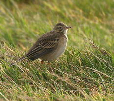 richards-pipit-01.jpg