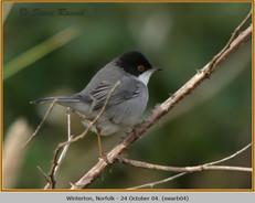 sardinian-warbler-04.jpg