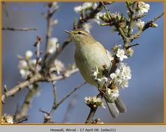 willow-warbler-21.jpg