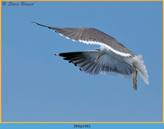 lesser-black-backed-gull-106.jpg