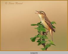 sedge-warbler-26.jpg