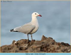 audouin's-gull-35.jpg
