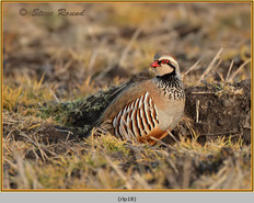 red-legged-partridge-18.jpg
