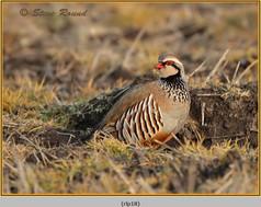 red-legged-partridge-18.jpg