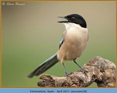 azure-winged-magpie-38.jpg