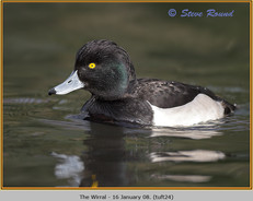tufted-duck-24.jpg