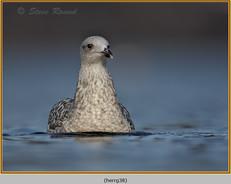 herring-gull-38.jpg