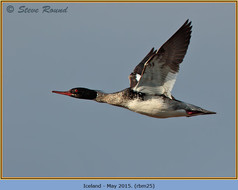red-breasted-merganser-25.jpg