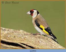 goldfinch-60.jpg
