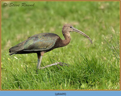 glossy-ibis-09.jpg