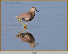white-tailed-lapwing-35.jpg