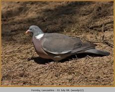 wood-pigeon-12.jpg