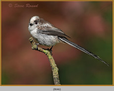 long-tailed-tit-46.jpg
