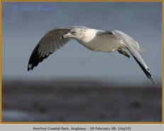 ring-billed-gull-19.jpg