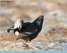 black-grouse-113.jpg