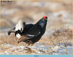 black-grouse-113.jpg