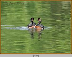 black-necked-grebe-09.jpg