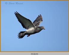 feral-pigeon-18.jpg