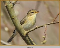 willow-warbler-23.jpg