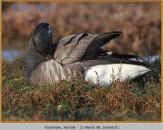 brent-goose-18.jpg