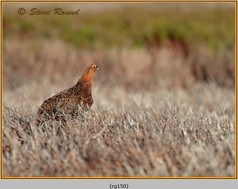 red-grouse-150.jpg