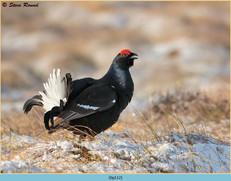 black-grouse-112.jpg