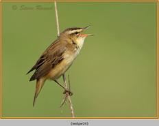 sedge-warbler-24.jpg