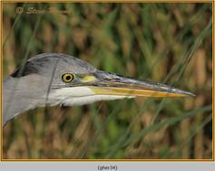 grey-heron-34.jpg