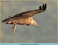 griffon-vulture-80.jpg