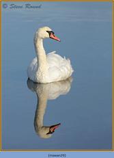 mute-swan-29.jpg