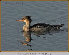 red-breasted-merganser-11.jpg