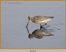 bar-tailed-godwit-11.jpg