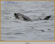 bottlenose-dolphin-11.jpg