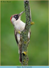 green-woodpecker-52.jpg