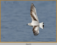 little-gull-23.jpg