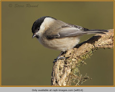 willow-tit-14.jpg