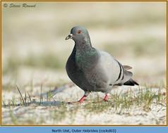 rock-dove-03.jpg