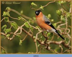 bullfinch-64.jpg