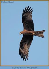 black-kite-09.jpg