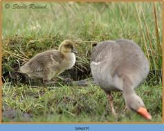 greylag-goose-29.jpg