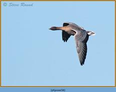 pink-footed-goose-58.jpg