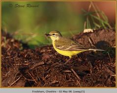 yellow-wagtail-15.jpg