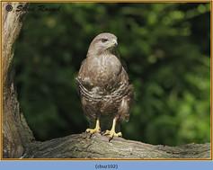 buzzard-102.jpg