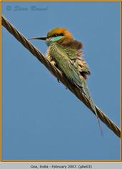 green-bee-eater-03.jpg