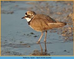 little-ringed-plover-46.jpg