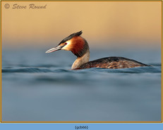 great-crested-grebe-66.jpg