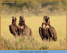black-vulture-06.jpg