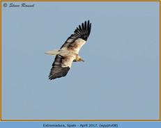 egyptian-vulture-08.jpg