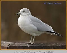 ring-billed-gull-06.jpg