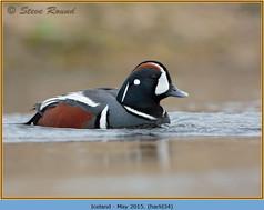 harlequin-duck-34.jpg